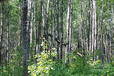 Photograph - Birch Forest by Mark McReynolds