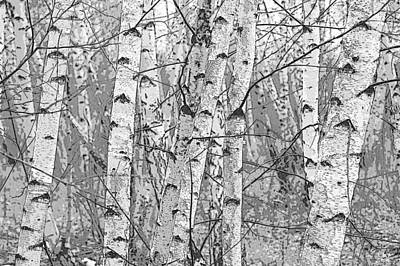 Rights Managed Images Photograph - Birch Forest by Rob Huntley