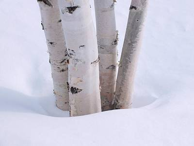 Photograph - Birch by Gene Cyr
