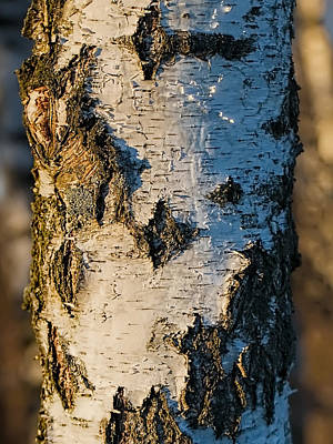 Photograph - #birch In Sunlight The White And Dark #trunk Is Lightened By The Sun On January 2015.  by Leif Sohlman