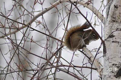 Birch Squirrel Art Print by Diane E Berry