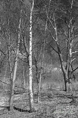 Photograph - Birch Tree And Shadows by Nina Silver