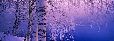 Birch Tree At A Riverside, Vuoksi Print by Panoramic Images
