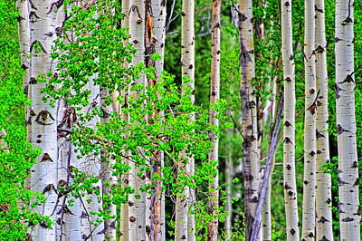Photograph - Birch Tree Forest by Jim Boardman
