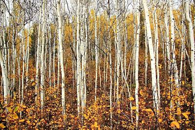 Photograph - Birch Tree Forest by Scott Holmes