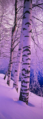 Birch Trees At The Frozen Riverside Print by Panoramic Images
