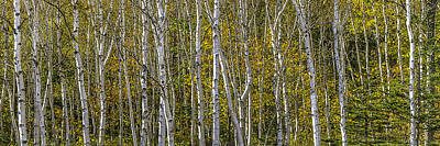 Photograph - Birch Trees by Frederick H Claflin