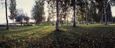 Fallen Leaf Photograph - Birch Trees, Imatra, Finland by Panoramic Images