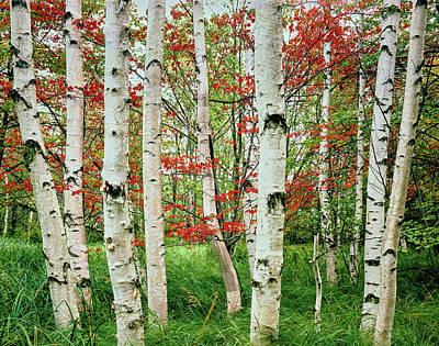 Maine Nature Photograph - Birch Trees In Autumn, Acadia National by Panoramic Images