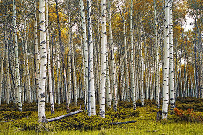 Randall Nyhof Royalty Free Images - Aspen Trees in Autumn Royalty-Free Image by Randall Nyhof