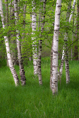 Maine Meadow Photograph - Birch Trees In The Great Meadow, Acadia by Panoramic Images