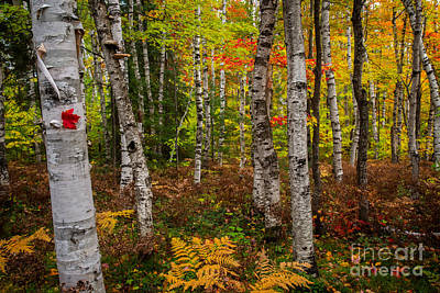Birch Trees Art Print by Todd Bielby