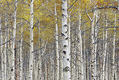 Pittsburgh According To Ron Magnes - Birch Trees with a touch of color by Randall Nyhof