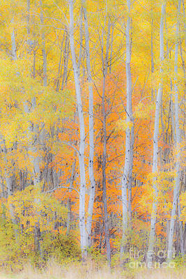 Photograph - Birch Woods Autumn by Alan L Graham