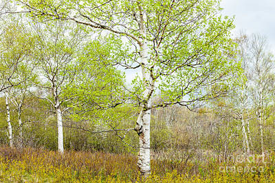 Photograph - Birch Woods In Spring by Susan Cole Kelly