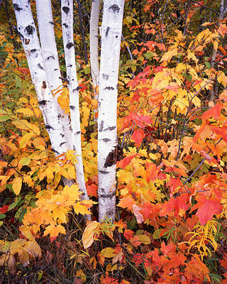 Photograph - Birches And Maples In Michigan by Ray Mathis