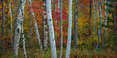Photograph - Birches by Darylann Leonard Photography