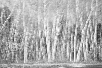 Birches Art Print by David Pratt