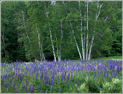 Photograph - Birches In The Blue Lupine by Wayne King