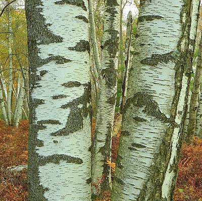 Photograph - Birches Of Beauty - Marion Brooks Natural Area by Joel E Blyler