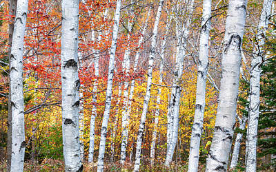 Photograph - Birches Of Grafton Notch by Expressive Landscapes Fine Art Photography by Thom