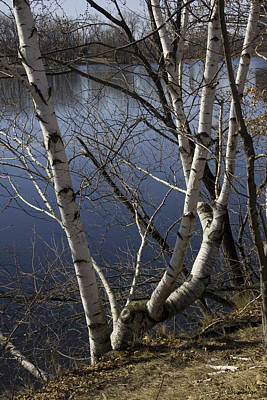 Photograph - Birches On The River by Michael Friedman