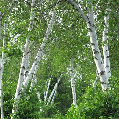Birches Art Print by Patricia E Sundik