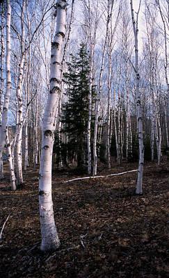 Birches Art Print by Skip Willits