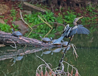 Bird And Turtles On Jekyll Island Art Print by Bruce Gourley
