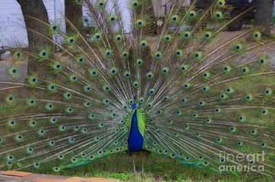 Photograph - Bird - Austin Texas Peacock - Luther Fine Art by Luther Fine Art