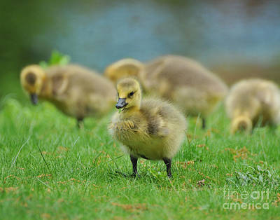 Bird - Baby Goose -leader Of The Pack Art Print by Paul Ward
