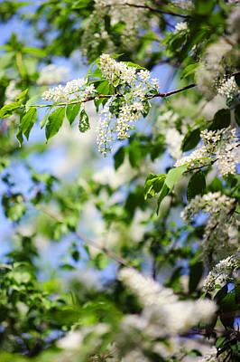 Photograph - Bird-cherry Tree Spring Bloom by Jenny Rainbow