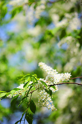 Photograph - Bird-cherry Tree Spring Blooming by Jenny Rainbow