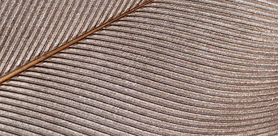 Calamus Photograph - Bird Feather by Nigel Downer