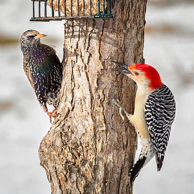 Starlings Photograph - Bird Feeder Stand Off Square by Bill Wakeley