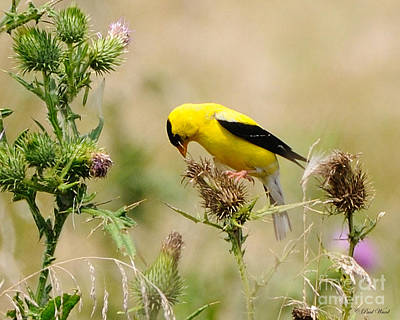 Finch Photograph - Bird -gold Finch Feasting  by Paul Ward