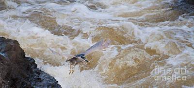 Photograph - Bird In Flight by Bianca Nadeau