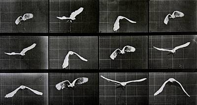 Birds In Flight Photograph - Bird In Flight by Eadwerd Muybridge