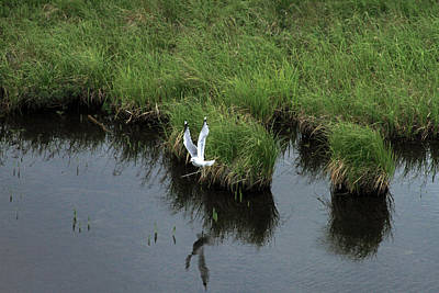 Photograph - Bird In Flight In Alaska by Ronald Olivier