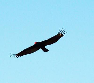 Photograph - Bird In Flight by Van Ness