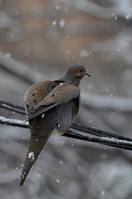Bird In Snow - Animal - 01133 Print by DC Photographer