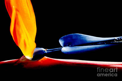 Photograph - Bird Of Paradise On Black by Nola Lee Kelsey