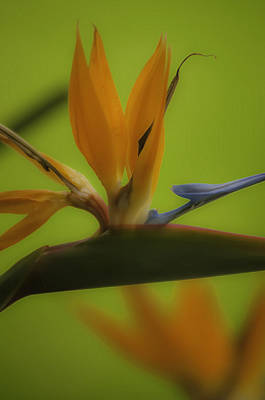 Photograph - Bird Of Paradise 2 by Sherri Meyer