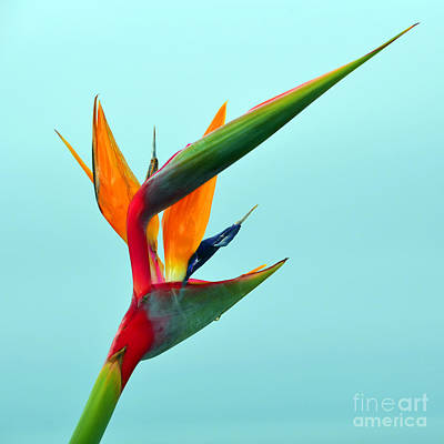 Bird Of Paradise Against Aqua Sky Art Print by Debra Thompson