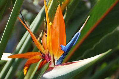 Photograph - Bird Of Paradise by Aimee L Maher Photography and Art Visit ALMGallerydotcom