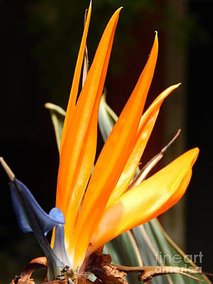 Photograph - Bird Of Paradise And Bee by Michael Hoard