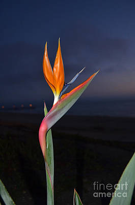 Photograph - Bird Of Paradise At Night by Debra Thompson