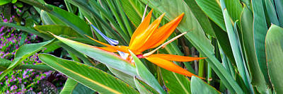 Photograph - Bird Of Paradise by Brian Gibson