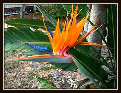 Photograph - Bird Of Paradise by Bruce Kessler