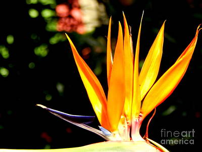 Photograph - Bird Of Paradise Crown by Michael Hoard